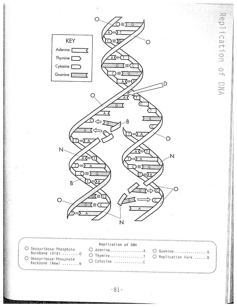 Dna Replication Coloring Worksheet On Dna Coloring Worksheet