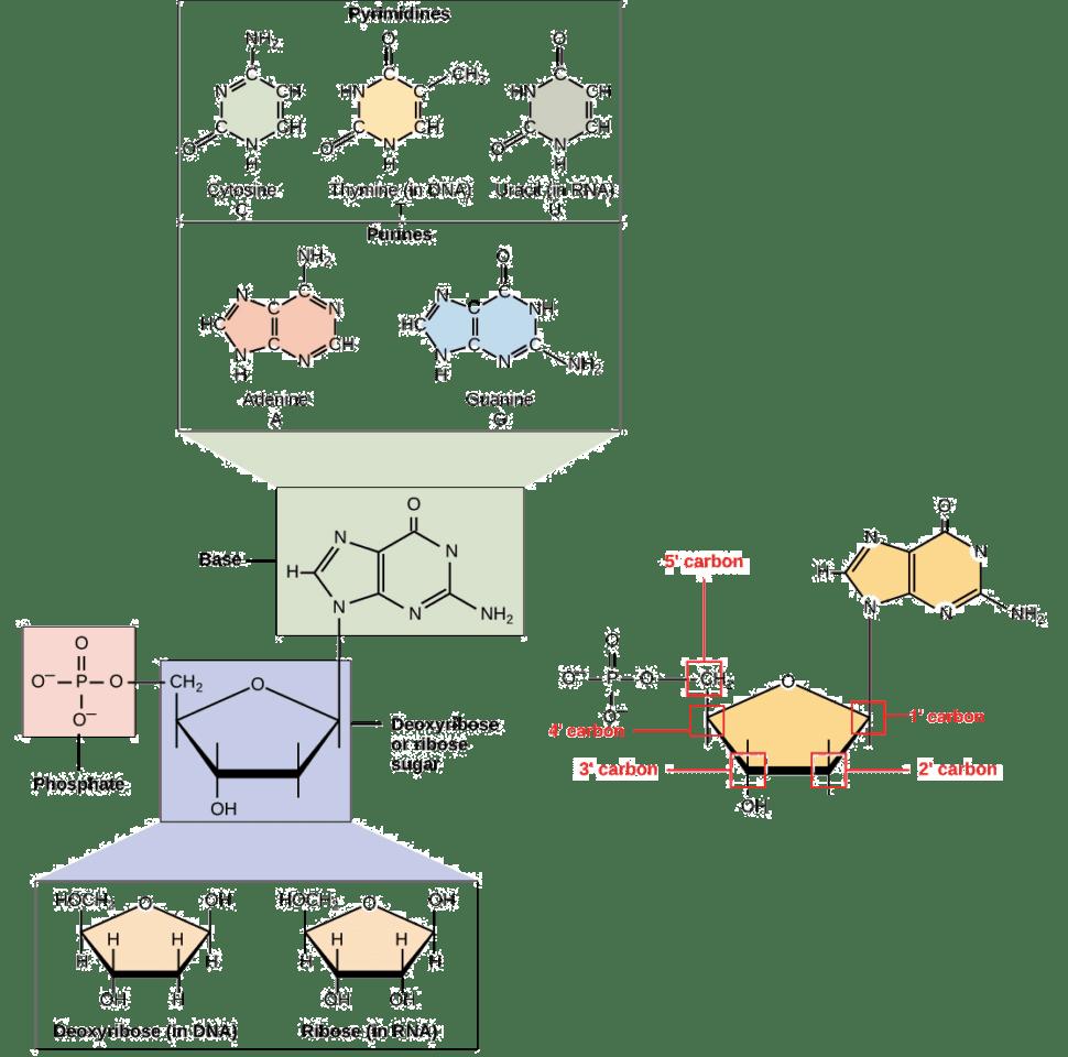 Worksheet   Dna Structure Animation Dna Puzzle Worksheet Dna