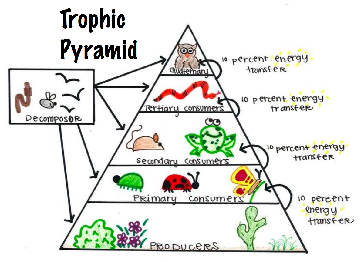 Food Chain Pyramid Worksheet Free Worksheets Library