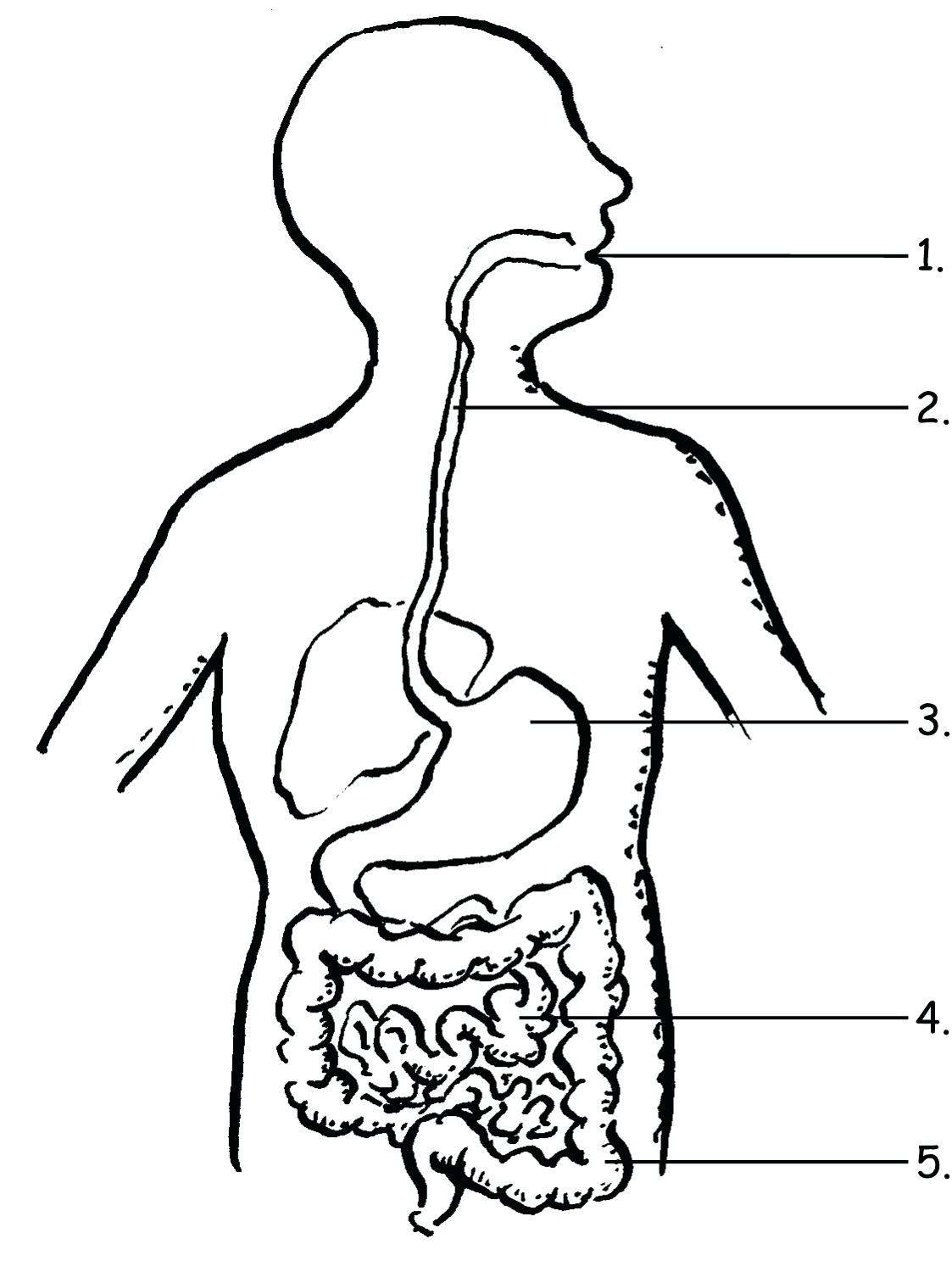 How 87 Surprising Digestive System Coloring Pages Diagram