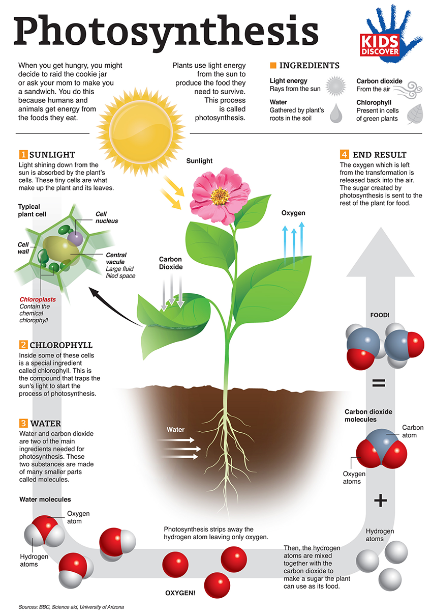 Infographic  Photosynthesis For Kids