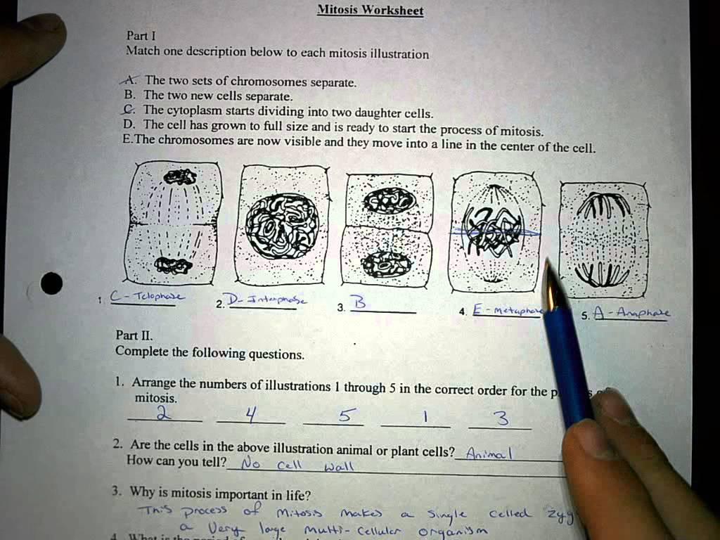 Mitosis Worksheet  5 6