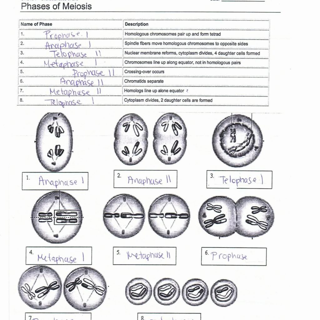 Meiosis Worksheets Answer Key