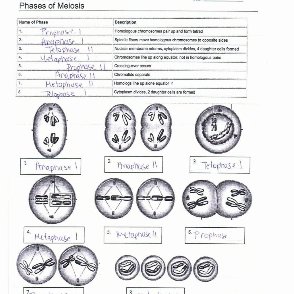 Phases Of Meiosis Worksheet Answer Key
