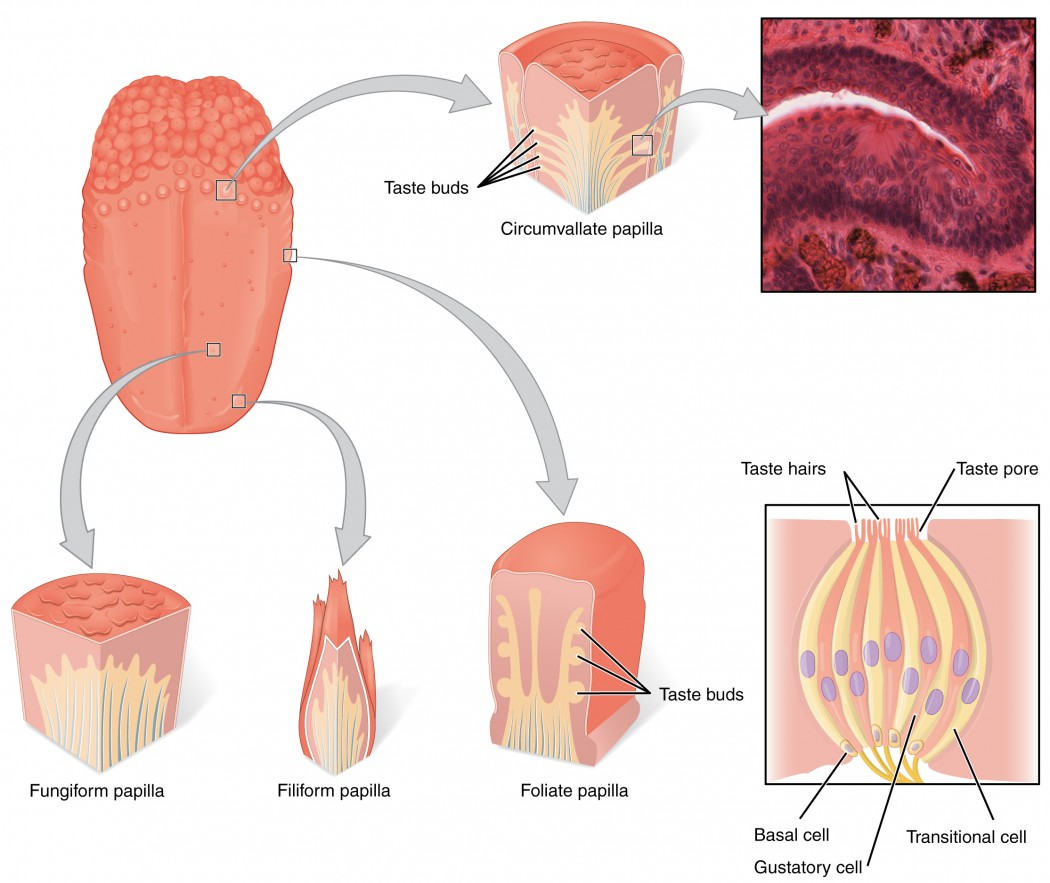 Sensory Perception  Taste And Olfaction