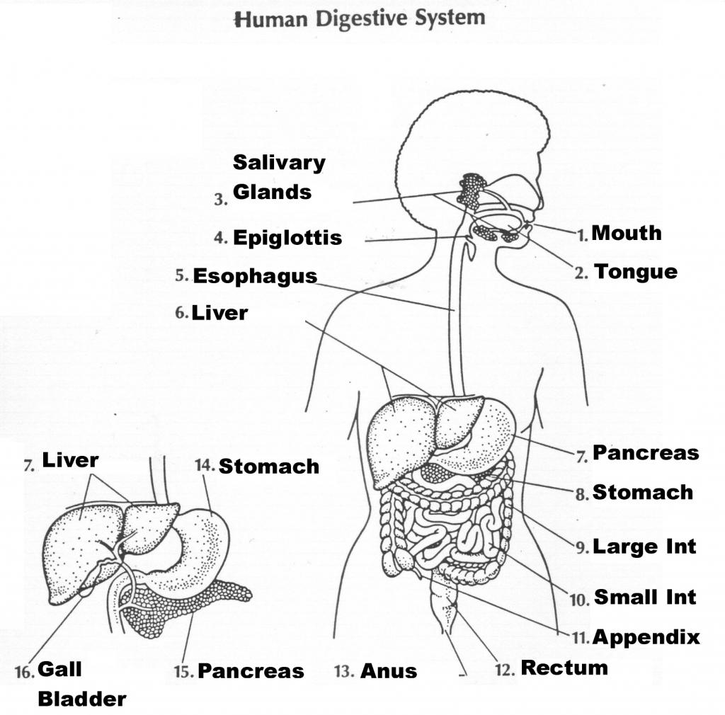 Worksheet  The Digestive System Worksheet  Recetasnaturista