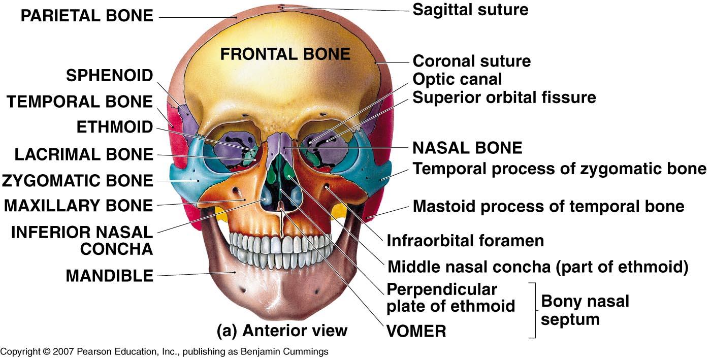 Bones Of The Skull Worksheets