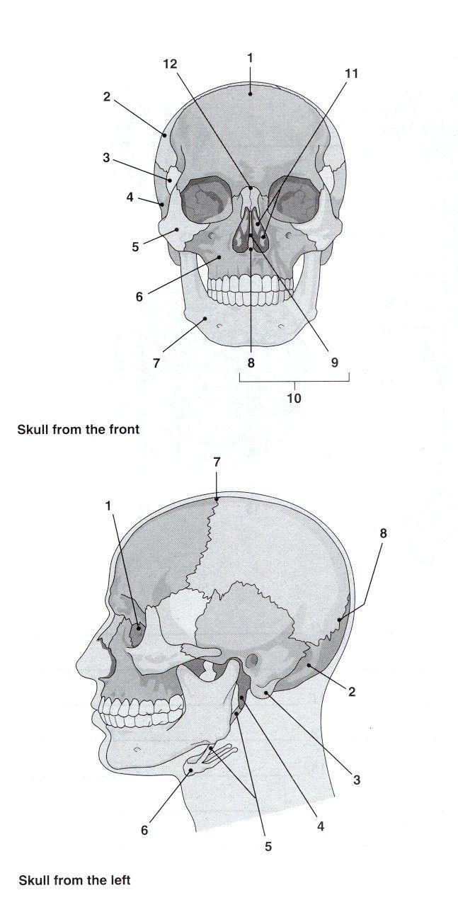 Best 25+ Skull Labeled Ideas On Worksheets Samples