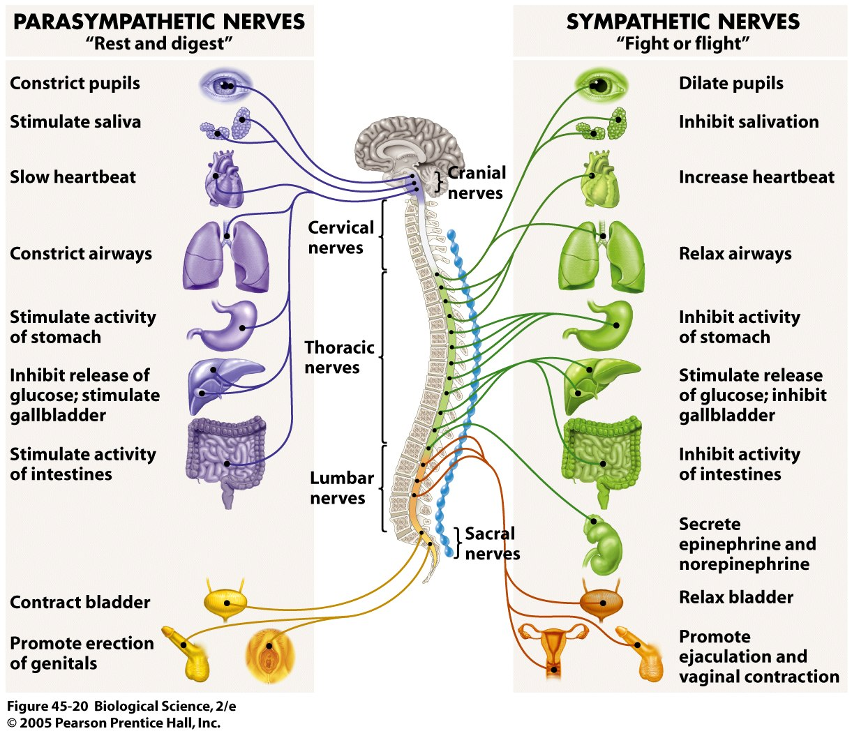 Central Nervous System Functions On The Nervous System Anatomy
