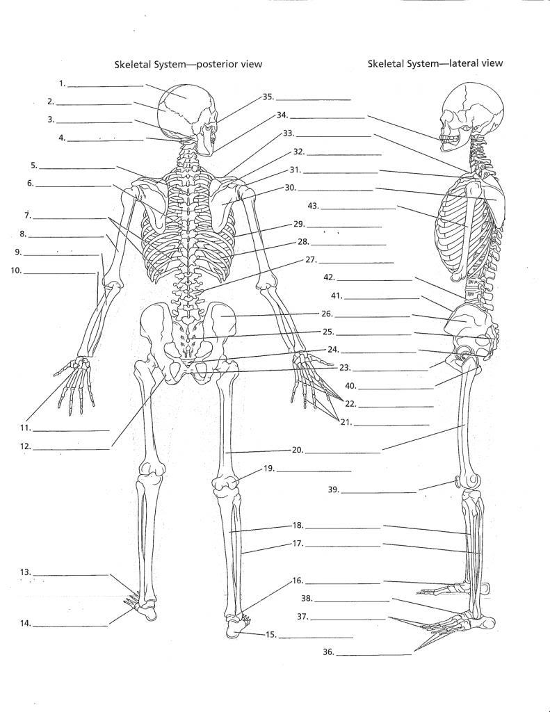 Berühmt Anatomie Und Physiologie Quiz Skelett System Zeitgenössisch ...