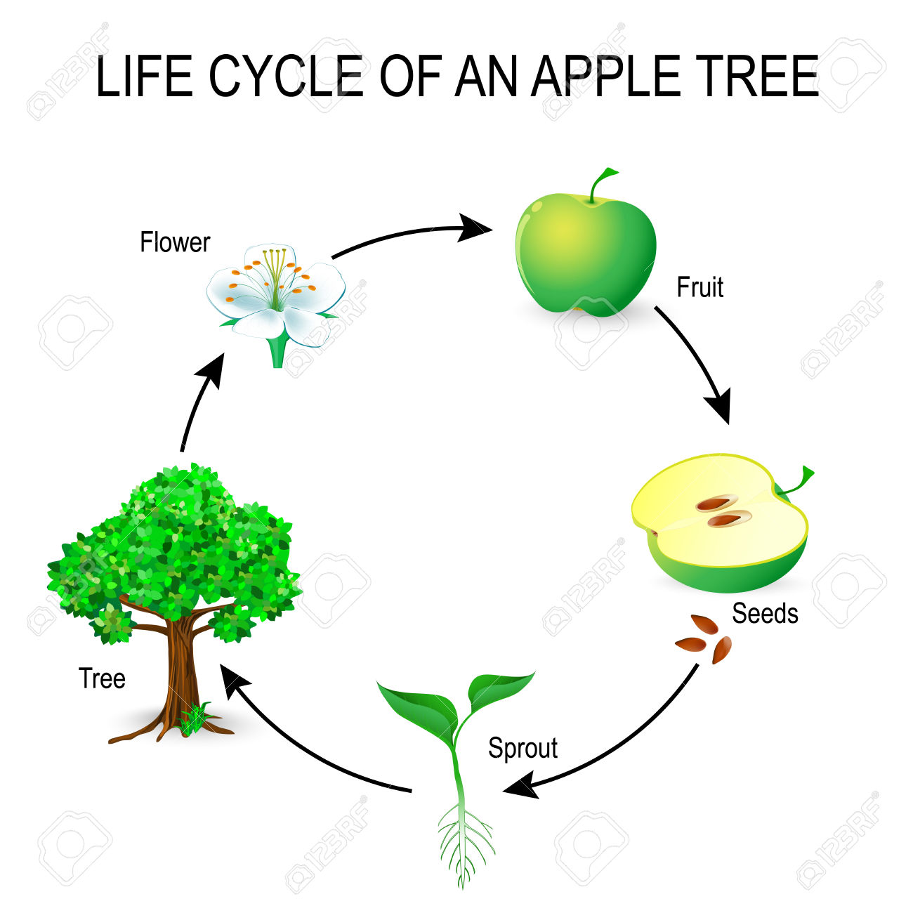 Life Cycle Of An Apple Tree Worksheet Worksheets For All