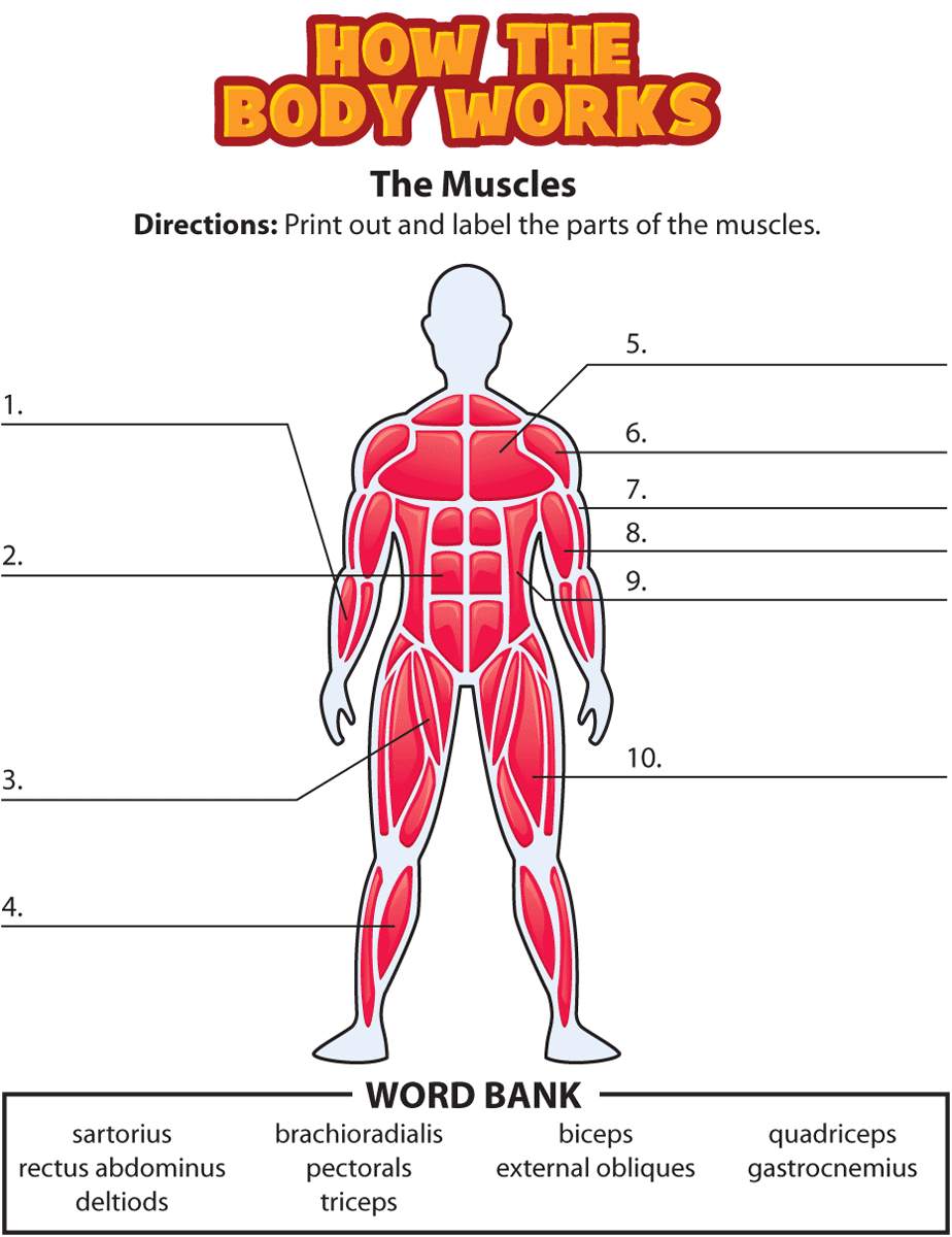 Muscle Diagrams To Label – Craftbrewswag Info