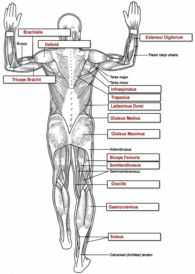 Muscles Labeling Full Body