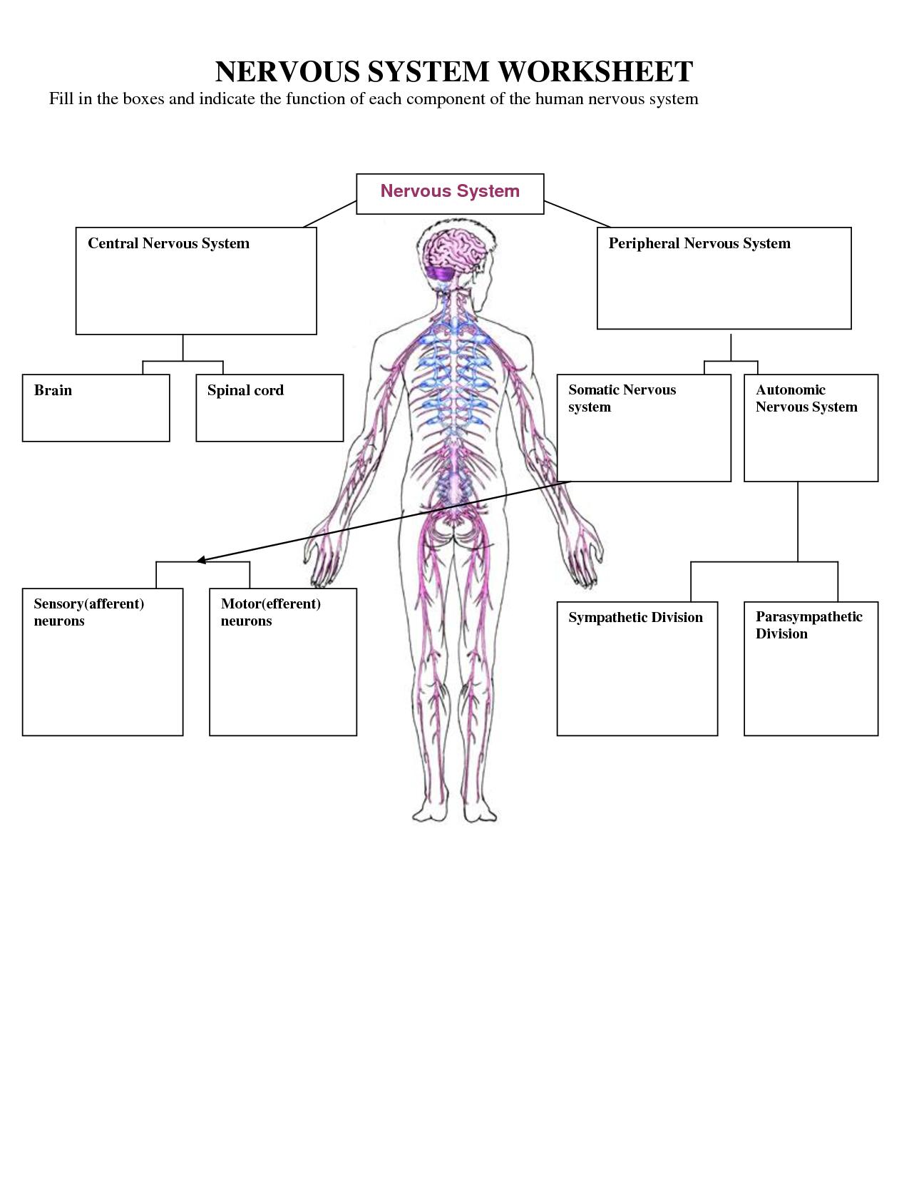 Nervous System Worksheets For Kids