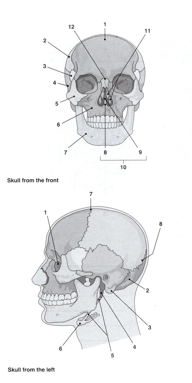 Skull Bones Labeling Exercise