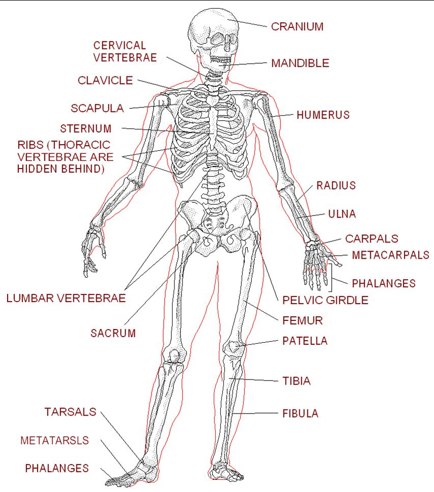 Worksheets For Anatomy