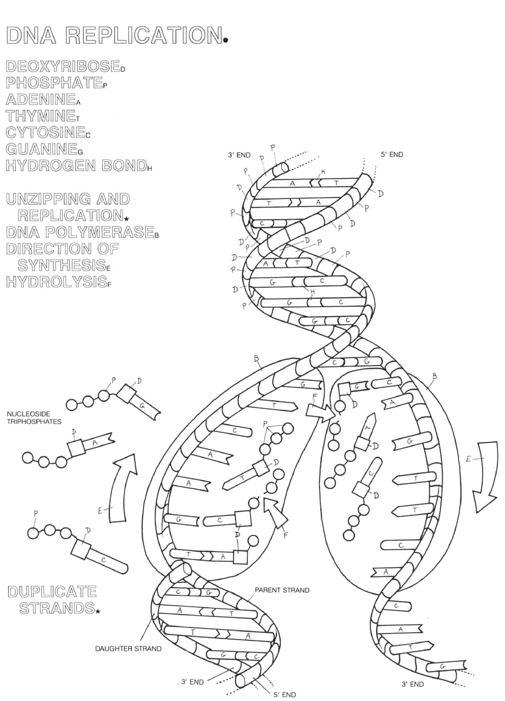 Dna Replication Coloring Worksheet Collection