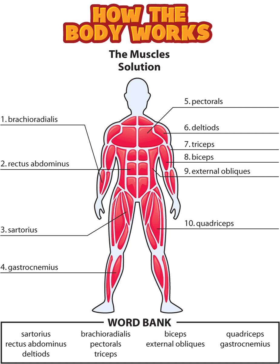 Htbw Muscles Solution Png