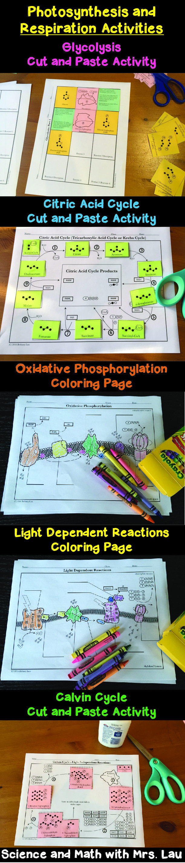 Photosynthesis And Respiration Coloring Activity Bundle For High