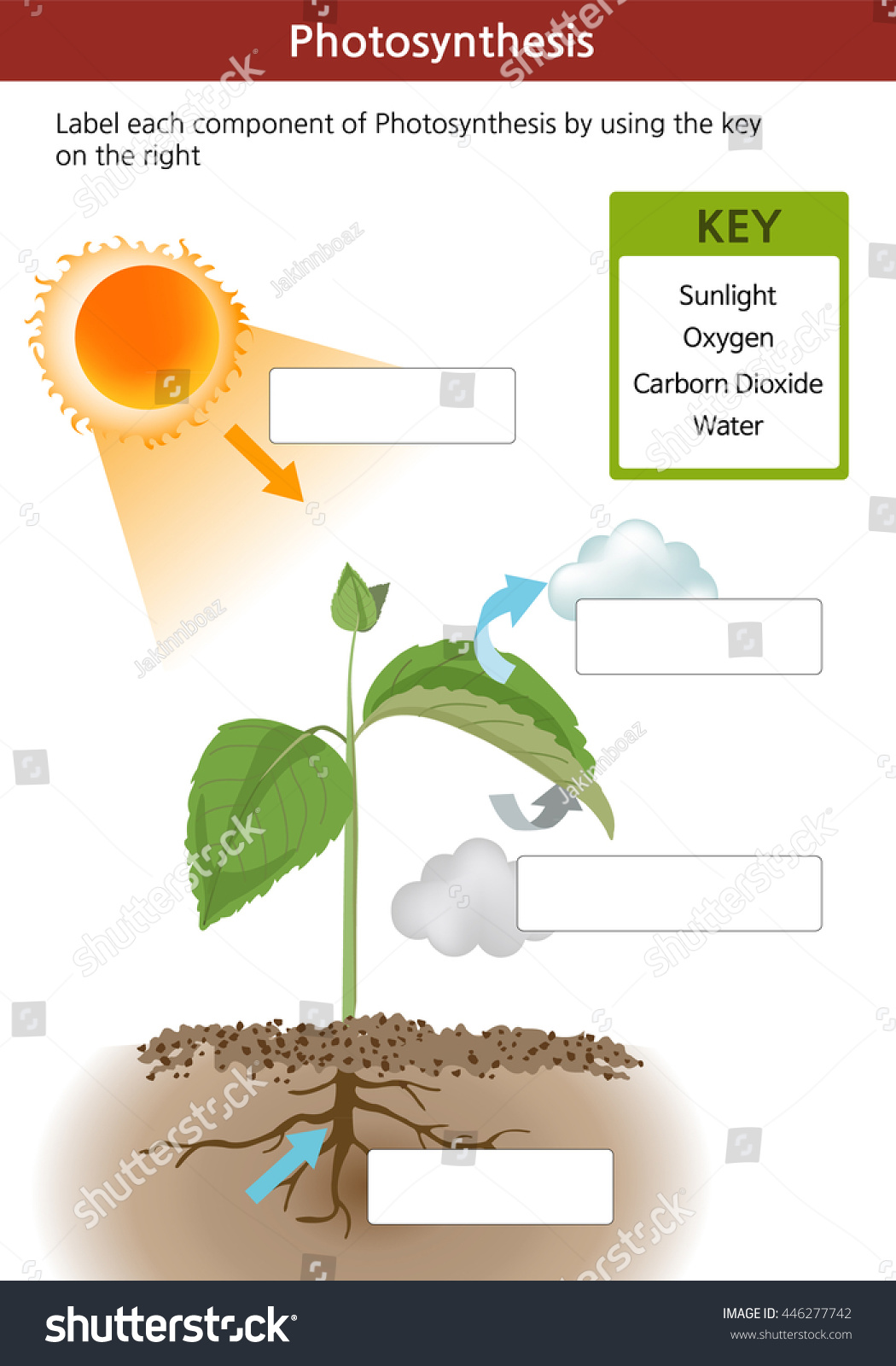 Photosynthesis Fill Blanks Worksheet Key On Stock Vector 446277742