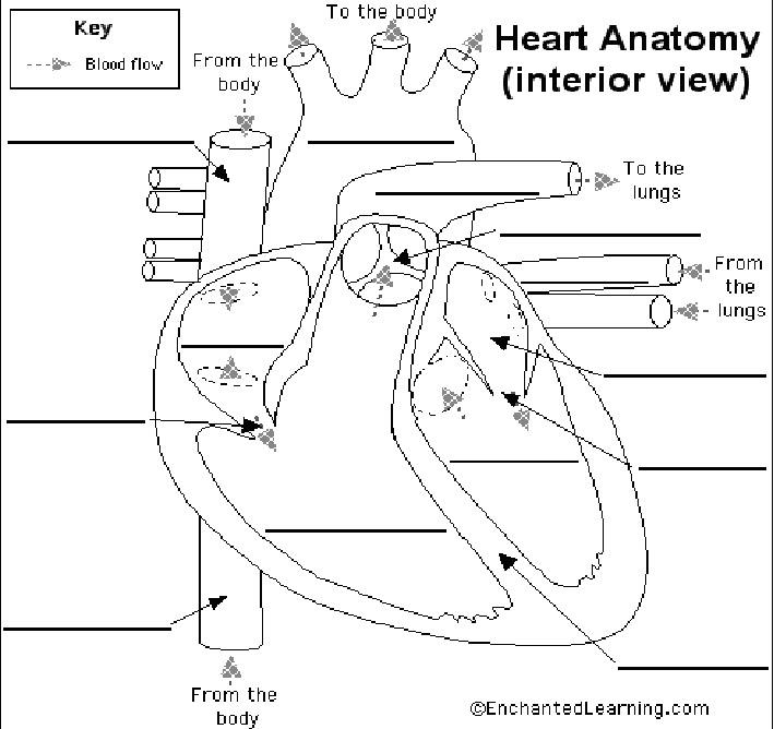 Printables  Human Heart Worksheet  Messygracebook Thousands Of