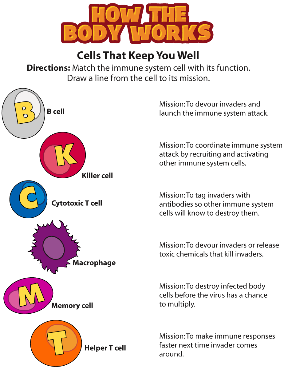 Cells Involved In The Immune System
