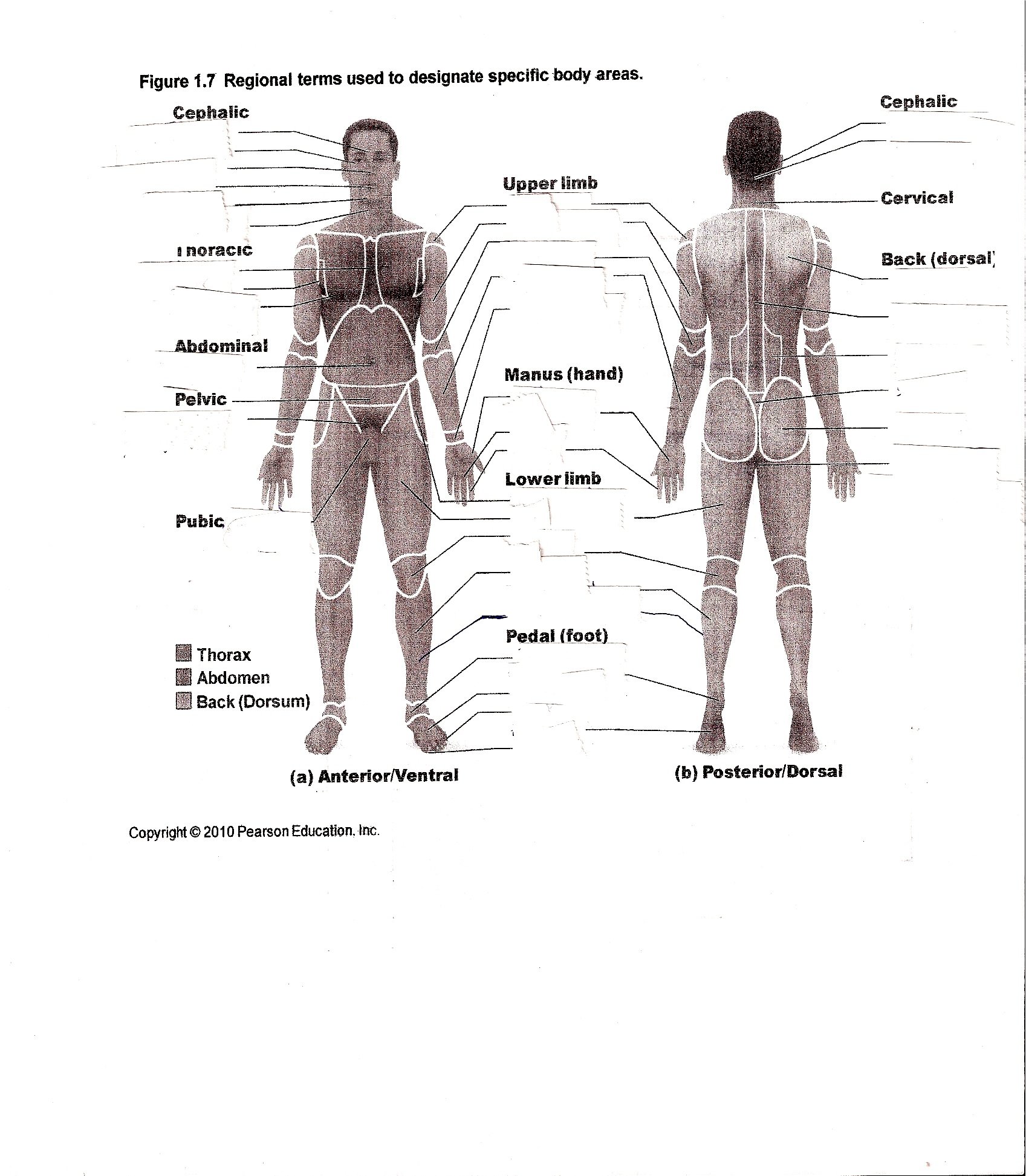Good Human Anatomy Worksheets 65 With Additional Function Of The