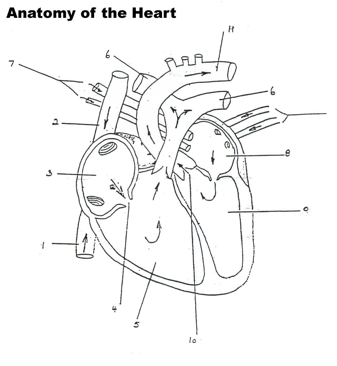 Human Heart Worksheet Blank
