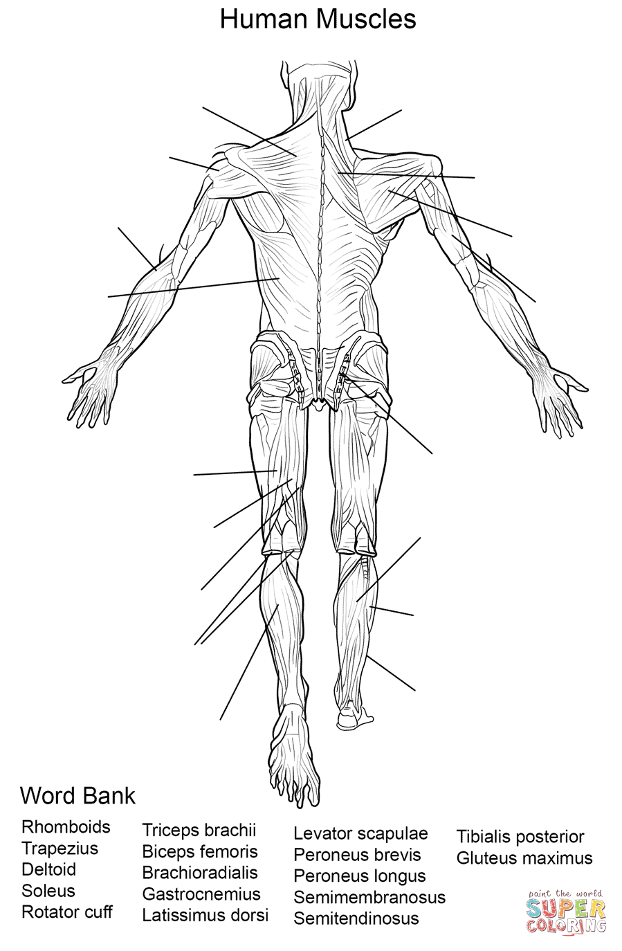 Human Muscles Back View Worksheet Coloring Page