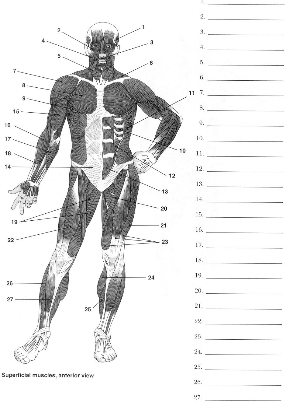 Muscles To Label