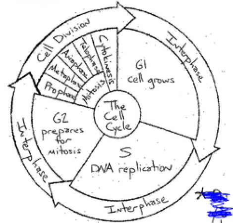 The Cell Cycle Coloring Worksheet Answers The Best Worksheets