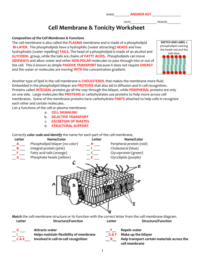 Worksheet  Cell Membrane And Tonicity Worksheet  Thedanks