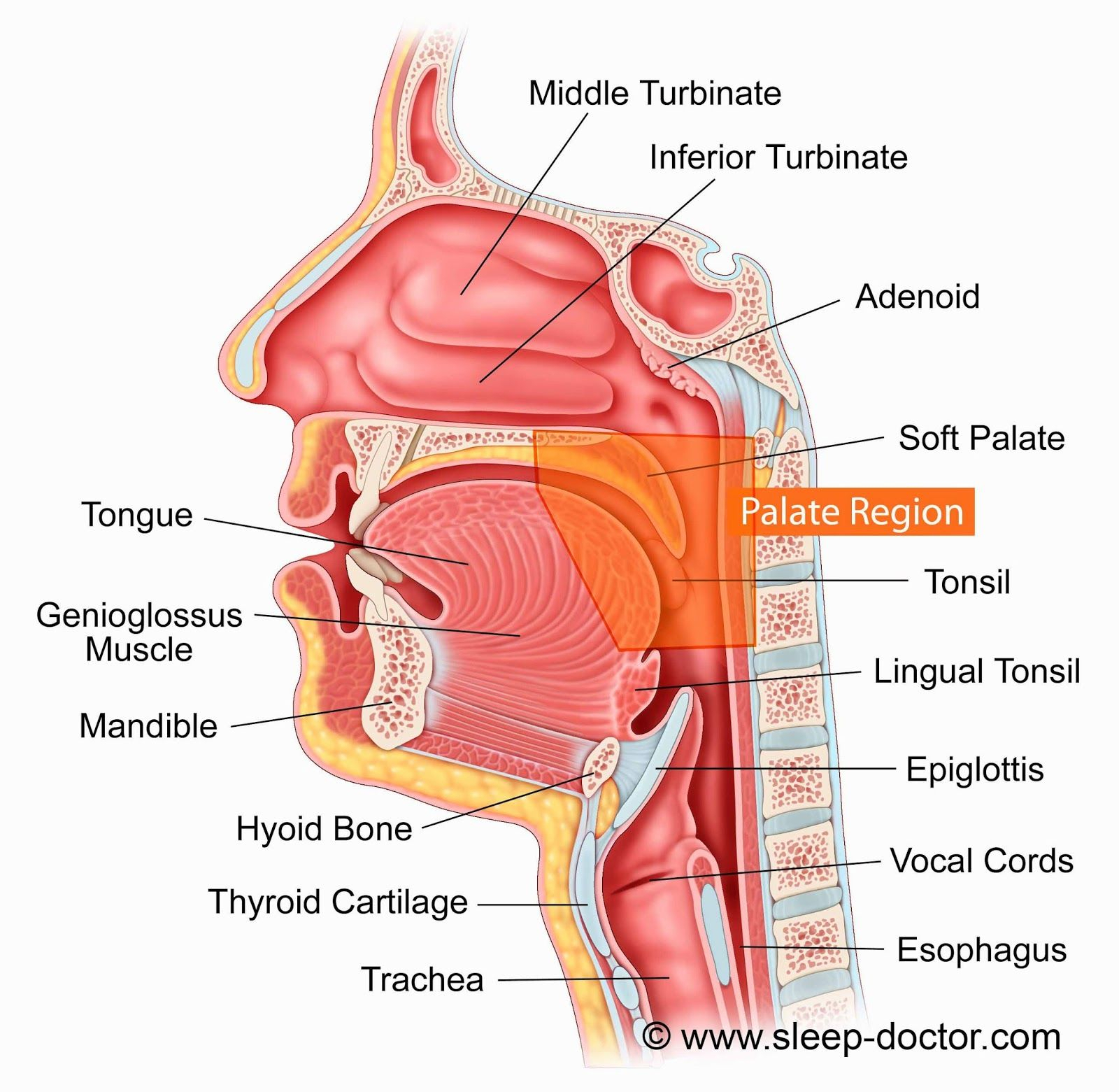 Anatomy Of The Nose Worksheet And Throat Diagr On Diagram Tongue