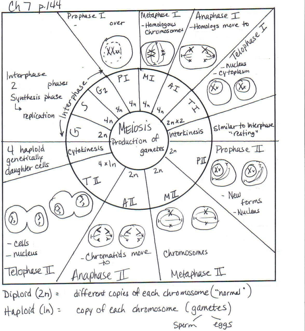 Comparing Mitosis And Meiosis Worksheet Name Instructions Doc