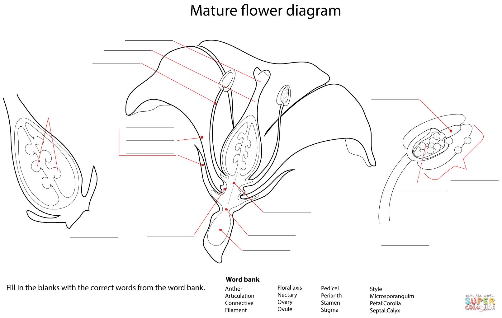 Flower Diagram Worksheet Coloring Page