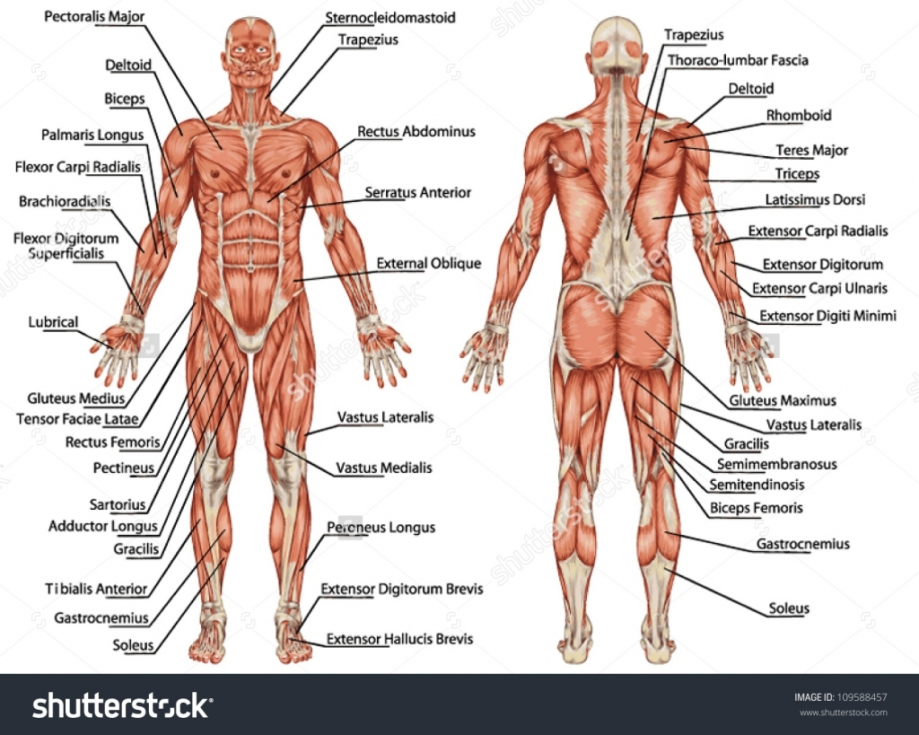 Muscle System Worksheet Worksheets For All