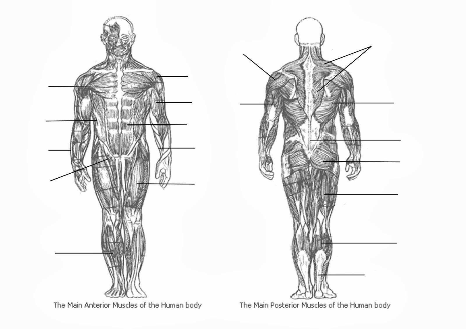 Unlabeled Muscle Diagram Worksheet Worksheets For All