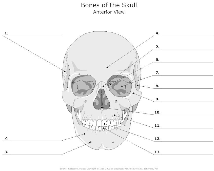 Anatomy Skull Labeling Considerable Anatomy Skull Games At Best