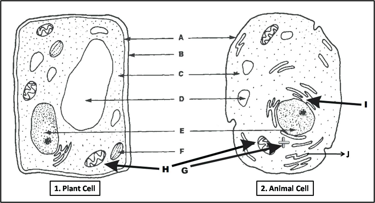 Animal And Plant Cell Worksheets Printable The Best Worksheets