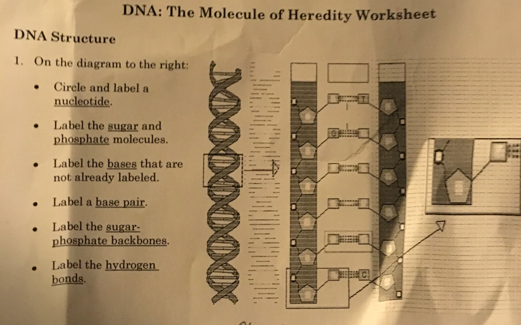 Dna The Molecule Of Heredity Worksheet 1933570