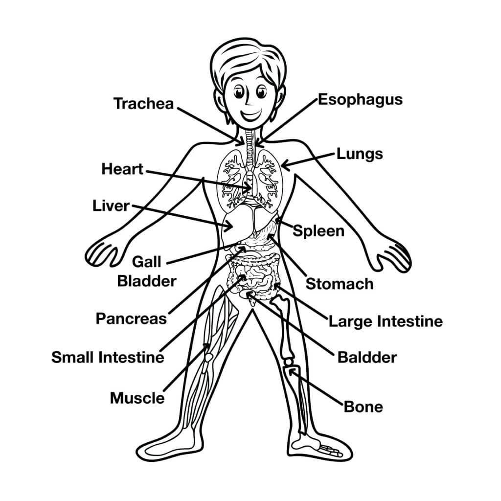 Fun Human Body Facts For Kids