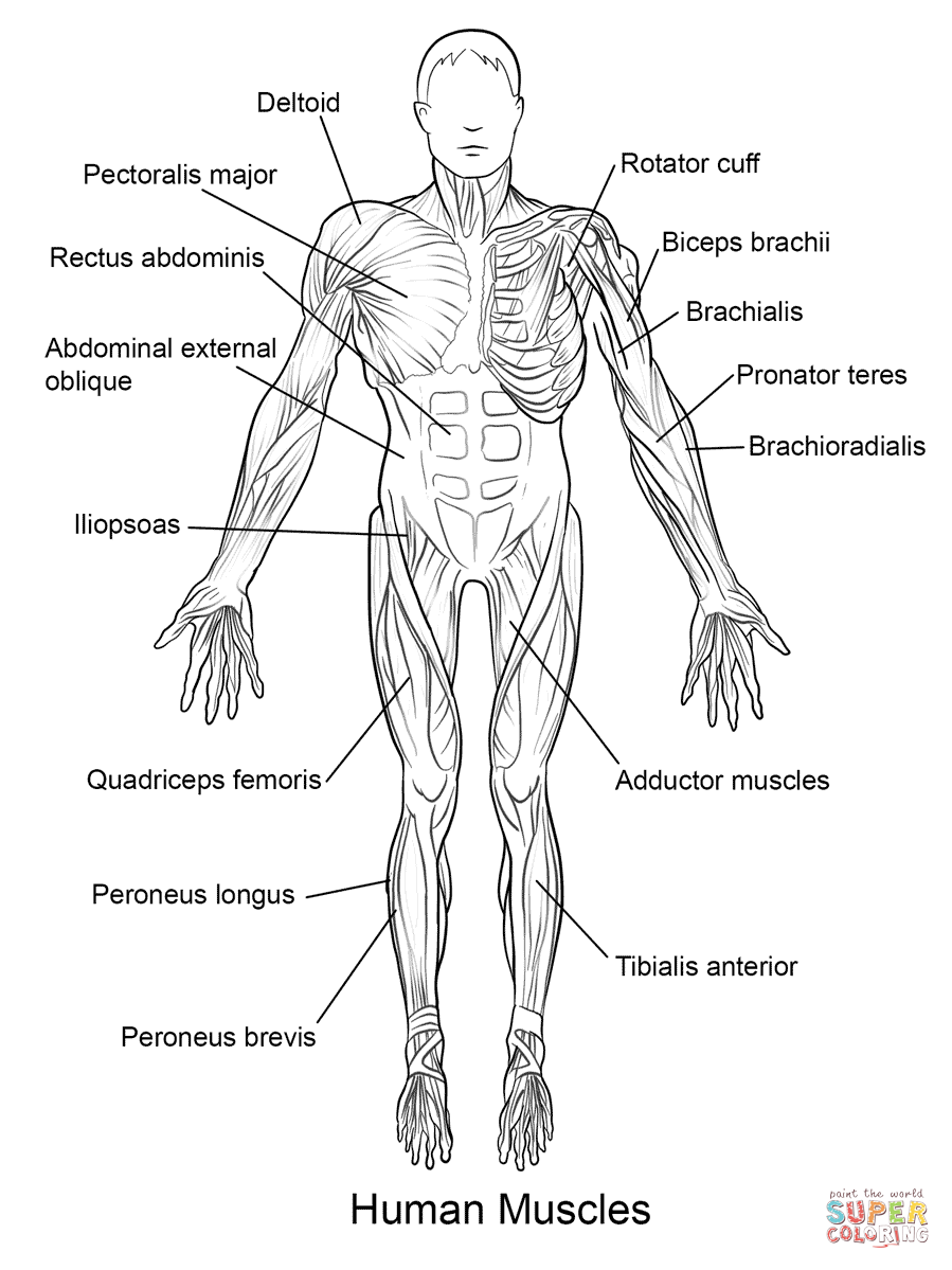 Human Muscles Front View Coloring Page