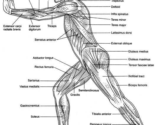 Human Muscles Worksheet The Best Worksheets Image Collection