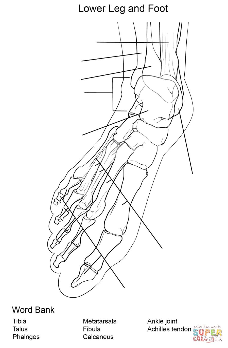 Anatomy Of Bone Coloring Foot Bones Worksheet Page Free Printable