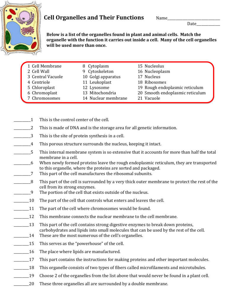 Cell Organelles And Their Functions Worksheet Answer Key The Best