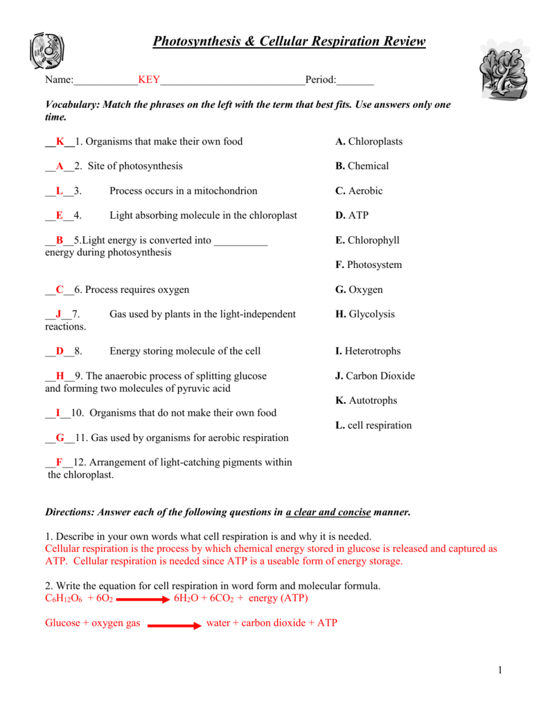 Photosynthesis And Cellular Respiration Worksheet – All About