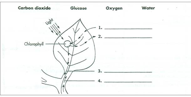 Photosynthesis Diagram Worksheet Key The Best Worksheets Image