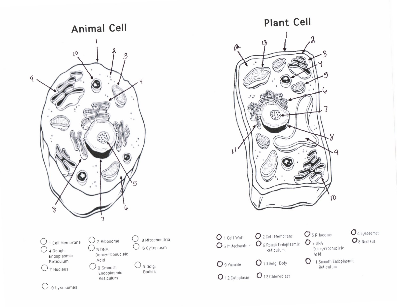 Wanted Plant Cell Coloring Page Printable Biome Worksheets Google