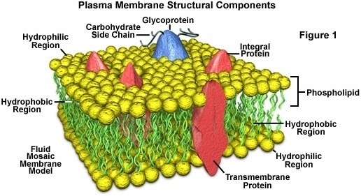 Cell Membrane Coloring Worksheet Answer Key Worksheets For All