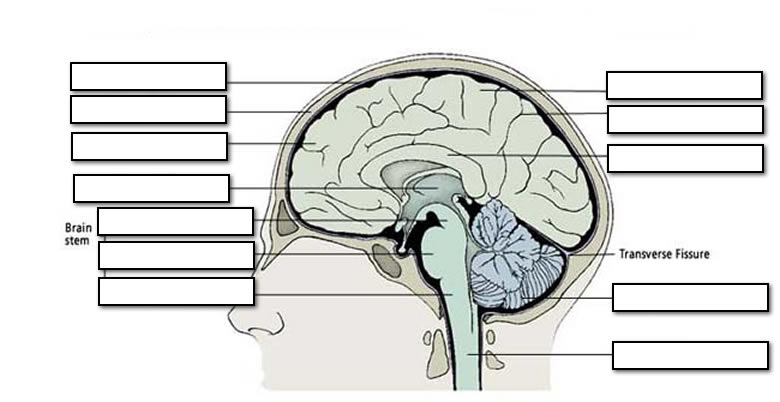Label The Parts Of The Brain Worksheet Worksheets For All